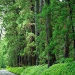 Aleea Cedrului din Nikko, cea mai lungă alee din lume