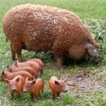 Rasă de Porc Mangaliţa: specie rară de porc cu blană creaţă ca la oaie