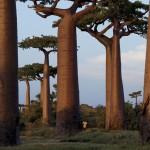 Baobabii misterioşi de pe Madagascar