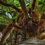 Păianjen de mărimea unui căţeluş zburdă prin pădurea tropicală