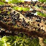 Jabuticaba: fructele exotice care cresc pe trunchiul arborelui