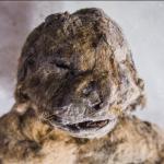 Pui de lei de peşteră cu o varstă de 12 000 ani, au fost prezentaţi lumii