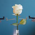 Trandafir cyborg conectat cu circuite ce cresc singure