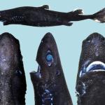 Cercetătorii au descoperit un rechin ce luminează în întuneric