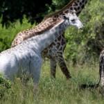 O girafă extrem de rară a fost fotografiată în Tanzania