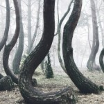 Este o pădure în Polonia plină de copaci strâmbi şi nimeni nu poate explica de ce