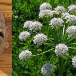 Şofranul Otrăvitor - curiozităţi despre plante