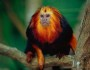 Photo from ARKive of the Golden-headed lion tamarin (Leontopithecus chrysomelas) - http://www.arkive.org/golden-headed-lion-tamarin/leontopithecus-chrysomelas/image-G8123.html