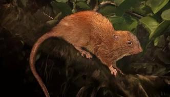 Uromys Vika, o nouă specie de şobolani gigantici de copaci