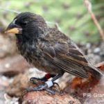 Big bird cinteza Darwin