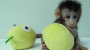 Hua Hua - prima clonă de maimuţă
