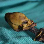 Mumia minusculă din Chile
