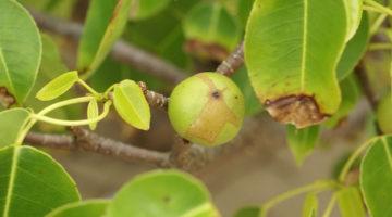 Manchineel cel mai toxic copac