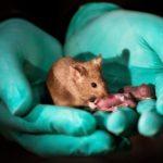 Pui de şoareci de la două mame