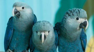 Papagalul albastru Macaw Spix