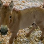 Primul cal Przewalski clonat